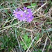 die Mehlprimel (Primula farinosa)