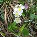Das Alpen-Fettkraut (Pinguicula alpina) eine fleischfressende Pflanze, wer hätte das gedacht (http://de.wikipedia.org/wiki/Alpen-Fettkraut)