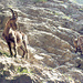 1974 auf dem alten Leiternweg in den Felsgrotten oberhalb Halsegg - Steinböcke waren damals noch viel seltener als heutzutage.