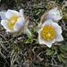 Frühlings-Kuhschelle (Pulsatilla vernalis).