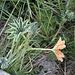 <b>Ventaglina alpina (Alchemilla alpina)</b>.