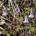 """<b>Soldanella pusilla.<br />Il nome del genere """"Soldanella"""" deriva dalla forma a """"soldo"""" delle foglie, come si può evincere dalla foto</b>."""