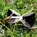 <b>Anellaria semiovata</b>.