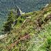 Ganze Hänge mit Alpenrosen bedeckt