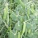 ..erstmals sehe ich Erbsenfelder (ausserhalb der gewohnten Sichtweise eines Gartens)