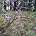 Blühender Gemeiner Seidelbast-Strauch (Daphne mezereum)