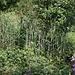 """Das Katastrophen manchmal auch etwas Gutes bewirken können, sieht man im Waldgebiet """"Müseren"""", welches durch Lothar 1999 schwer geschädigt wurde. Dies bot Gelegenheit anstelle der vorherigen Fichten-Monokultur einen vielseitigen Mischwald neu aufzuforsten, wo es auch für Sträucher und Blütenpflanzen wieder Platz hat, wie hier der Rote Holunder und der Fingerhut beweisen."""