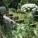 Eine der gefährlichsten Pflanzen überhaupt - und zugleich eine der imposantesten: Der Riesenbärenklau (Heracleum mantegazzianum)