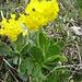 Der kalkliebende Aurikel (Primula auricula)