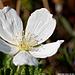 Plaquebière ou ronce des tourbières ou ronce petit-mûrier (rubus chamaemorus) Moltebeere (rubus chamaemorus)