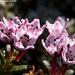 Azalée des Alpes (loiseleuria procumbens) Gämsheide oder Alpenazalee (loiseleuria procumbens)  Celles-ci étaient vraiment minuscules! Il fallait se coucher à côté pour découvrir leur apparence comme ci-dessus