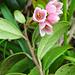Airelle rouge ou airelle vigne du Mont Ida (vaccinium vitis-idaea) Preiselbeere (vaccinium vitis-idaea)