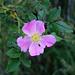 Am Wegrand eine Alpen-Hagrose (Rosa pendulina)