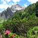 Alpenrosen und Ammertespitz