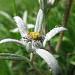 Die Königin der Alpenblumen