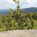 An den Großen Zeterklippen - Auf den Felsblöcken und damit auf der Höhe von Fichtenwipfeln mit frischen Zapfen.