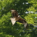 A red kite, there's lots of them in the area
