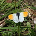 A male Orangetip (Aurorafalter, Anthocharis cardamines)