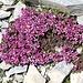 <b>Sassifraga a foglie opposte (Saxifraga oppositifolia). Conosciuta volgarmente come Erba di San Giuseppe (a causa della fioritura precoce, almeno in certi habitat), sassifraga a foglie opposte, rompisassi.  All'apice delle foglie sono presenti degli organi escretori (idatodi), che permettono la fuoriuscita di acqua e di altre sostanze (fenomeno della guttazione). In questo caso gli idatodi secernono il calcare presente sul terreno in cui la pianta vegeta e il cui eccesso è dannoso per la pianta stessa. </b>.