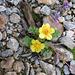 Geum reptans, Rosaceae
