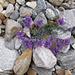 Linaria alpina. Plantaginae.<br /><br />Linaria alpina.<br />Linaire des Alpes.<br />Alpen-Leinkraut.