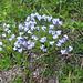Myosotis alpestris, Boraginaceae