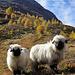 Moutons du Lötschental