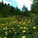 Trollblumen in Massen und Alpenrosen