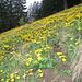 Caltha palustries (Sumpfdotterblume) in den Alpen bis über 2400m zB in Sumpfwiesen zu sehen