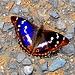 """Grosser Schillerfalter (Apatura iris) - Vom BUND zum """"Schmetterling des Jahres 2011"""" erkoren !<br />"""