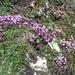 leuchtende Thymian-Blüten