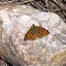 """Diesen """"Kleinen Perlmuttfalter"""" (Issoria lathonia) auf dem glitzernden Stein durfte ich mir nicht entgehen lassen"""