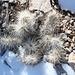 Aufstieg zum Turtlehead Peak - Am Wegrand: Kaktus im Schnee.