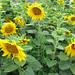 wenn schon die Sonne nicht scheint, dann leuchten doch wenigstens die sonnenblumen