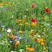 wunderschöne Blumenwiese