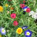 Detail aus der Blumenwiese