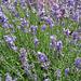 duftende Lavendelblüten