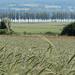 Blick über Kornfelder zur schönen Pappelallee auf dem Damm zur Insel Reichenau