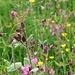 Läuse auf der Blumenwiese