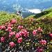 """Abstieg durch ganze """"Wälder"""" aus blühenden Alpenrosen"""