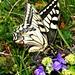 Ein Schwalbenschwanz. Diese herrlichen Schmetterlinge lieferten sich auf dem Gipfel wahre Flugkämpfe.