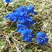 Kurzblättriger Enzian (Gentiana brachyphylla) oder etwa Bayerischer Enzian (Gentiana bavarica)?