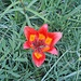 Un'esplosione di colore tra il verde. E' il famoso Giglio di San Giovanni (Lilium bulbiferum).