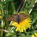 Skabiosen-Scheckenfalter (Euphydryas aurinia aurinia)