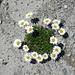 Alpen-Wucherblume,...