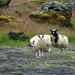 Diese Schafe haben sich einen schönen Lebensraum ausgesucht – und beäugen misstrauisch Eindringlinge