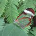 transparenter Schmetterling