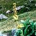 Gelber Enzian Frucht im Alpengarten Schynige Platte