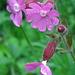 Rote Lichtnelke (Silene dioica) auch Rotes Leimkraut, Rote Nachtnelke, Taglichtnelke, Herrgottsblut oder Kuckucksblume genannt. Alles klar? :)