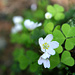 Oxalis acetosella (Waldsauerklee, Common wood sorrel) - source: [u 360]